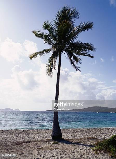 palm tree - 西インド諸島文化 ストックフォトと画像