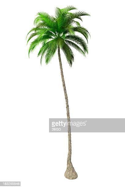 Palm Tree Render isoliert auf weißem Hintergrund (XXXL