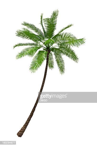 Palmeira ilustração isolada no fundo branco puro (XXXL