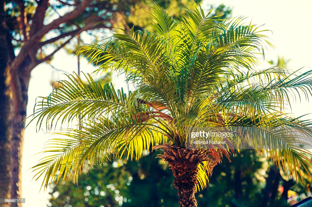 Palm tree shining in the sunlight at dusk : Stock Photo