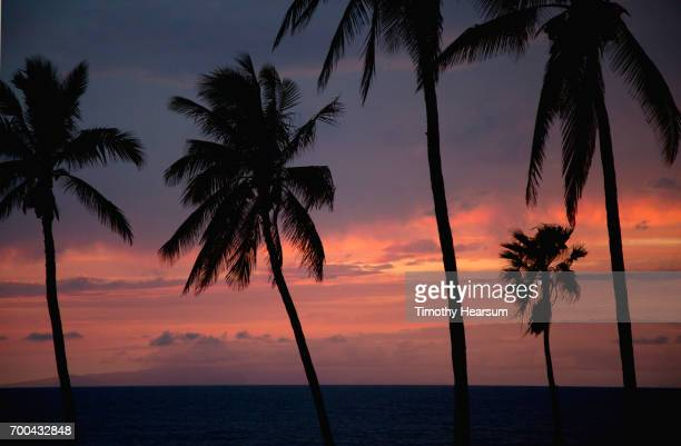 palm tree silhouettes, ocean and pink sky just after sunset - timothy hearsum stock photos and pictures