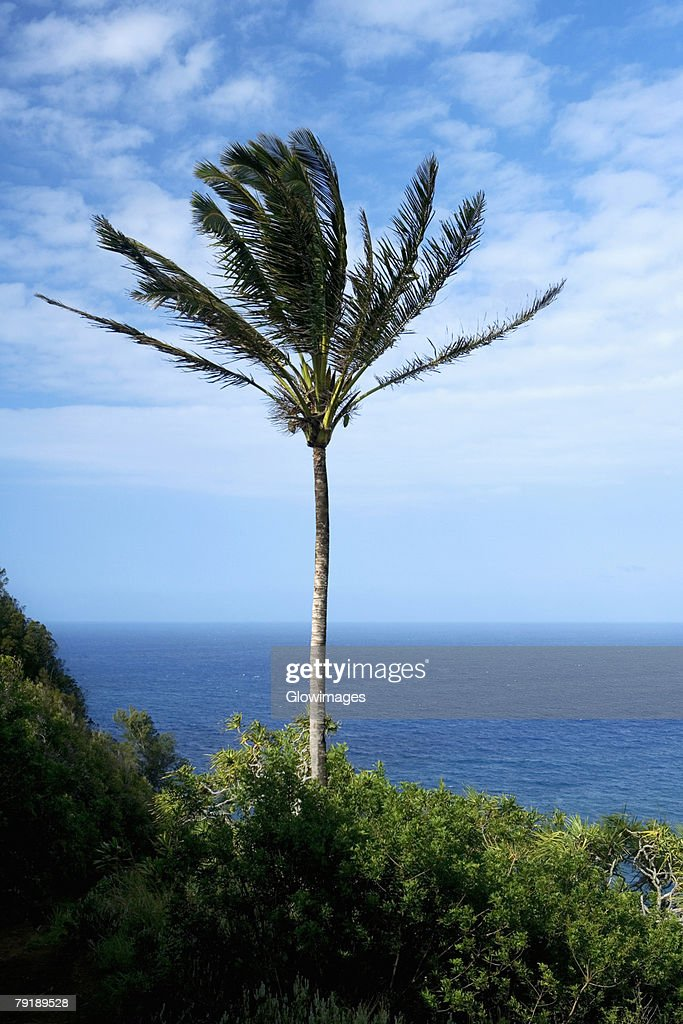 Palm tree swaying on the beach, Pololu Valley, Kohala, Big Island, Hawaii Islands, USA : Foto de stock