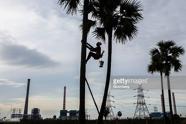 A palm tree tapper descends a tree in front of the Meenakshi Energy Pvt power plant left and the Simhapuri Energy Ltd power plant in Thamminapatnam...