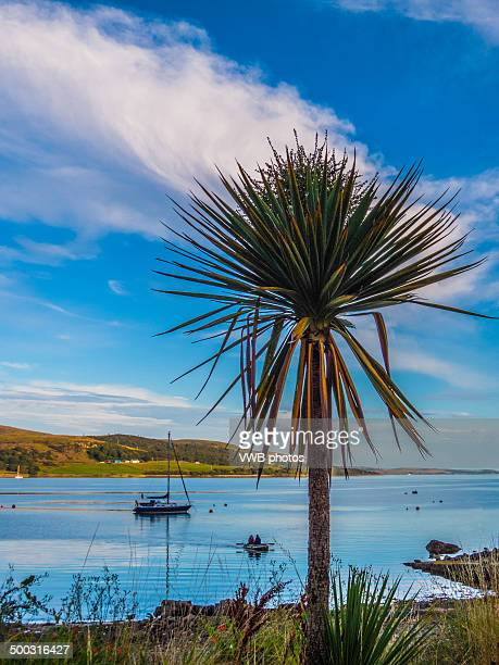 Palm Tree, Tighnabruaich Beach
