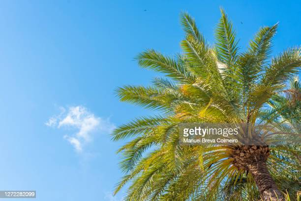 palm tree with clear sky - benicassim stock pictures, royalty-free photos & images
