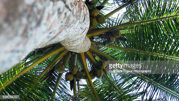 Coconut Palm Tree Stock Photos And Pictures