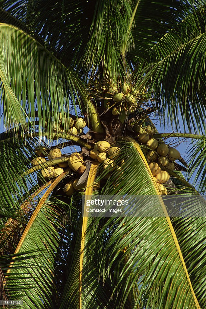 Palm tree with coconuts : Stockfoto