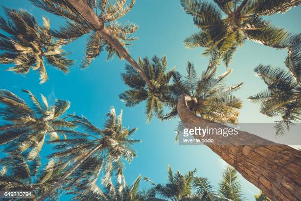 palm trees against blue sky, palm trees at tropical beach vintage coconut tree, summer tree. tropical background concept. - tropical climate stock photos and pictures