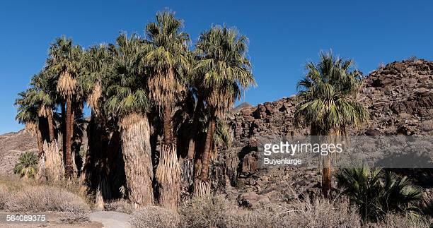 Palm trees along the roadway into the Indian Canyons south of Palm Springs California