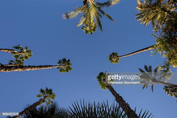 Palm trees and cacti at the Majorelle Garden on January 04 2018 in Marrakesh Morocco The Jardin Majorelle in Marrakech is one of the most visited...