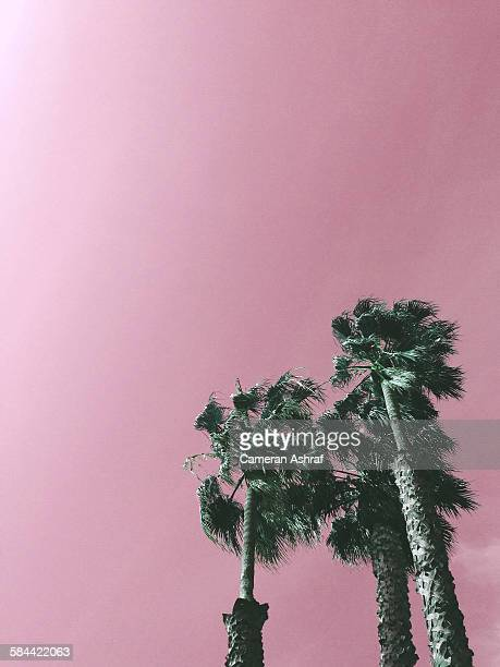 Palm trees and pink sky