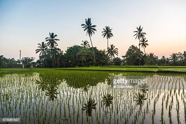 palm trees and rice paddies in ubud - didier marti stock photos and pictures