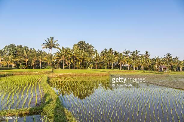 Palm trees and rice paddies in Ubud