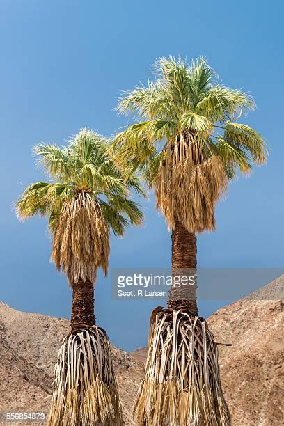 Palm trees (Washingtonia filifera) at Anza Borrego