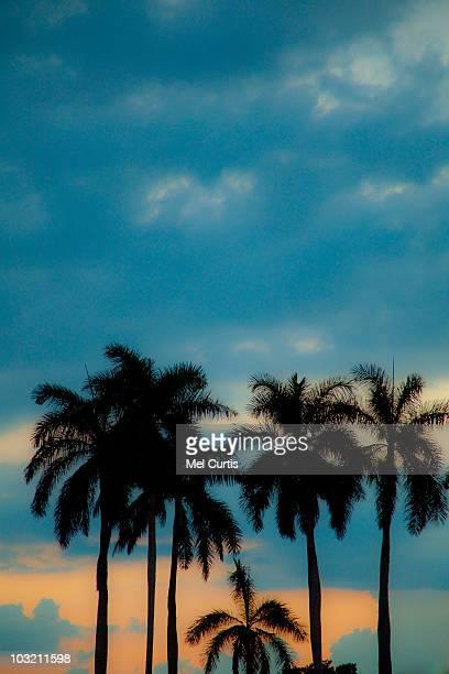Palm trees at sunset in Sarasota, Florida