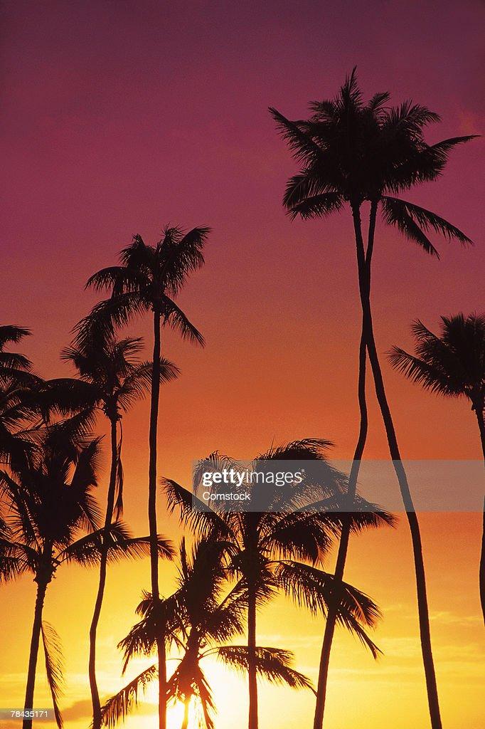Palm trees at sunset : Stockfoto