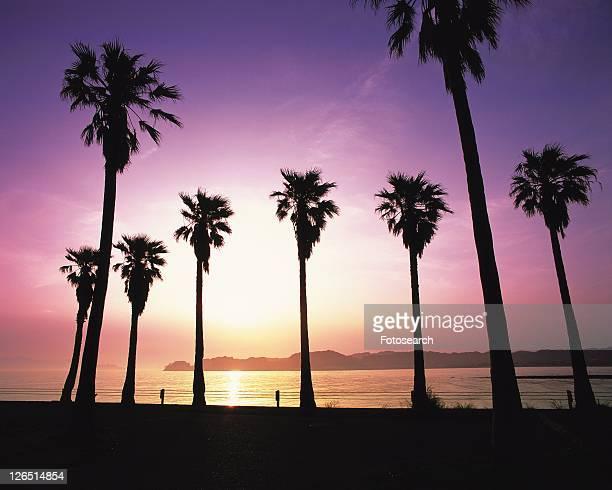 palm trees at zaimokuza beach, shonan, kanagawa prefecture, japan, low angle view, lens flare - zushi kanagawa stock photos and pictures