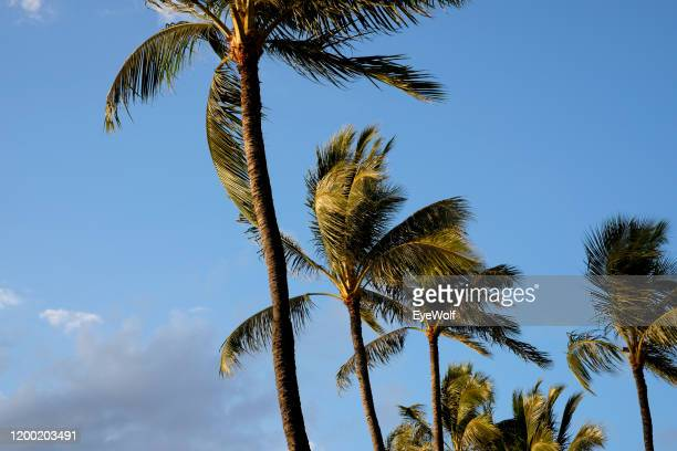 palm trees blowing in the wind in hawaii. - media_in_honolulu,_hawaii stock pictures, royalty-free photos & images