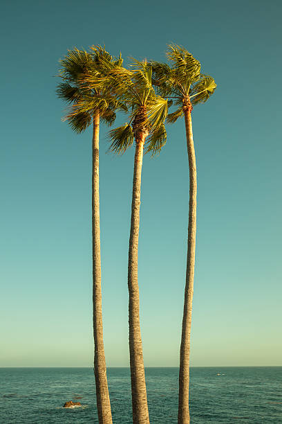 Palm trees by the Pacific Ocean