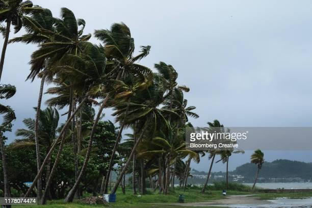 palm trees hit by tropical storm karen - paisajes de puerto rico fotografías e imágenes de stock