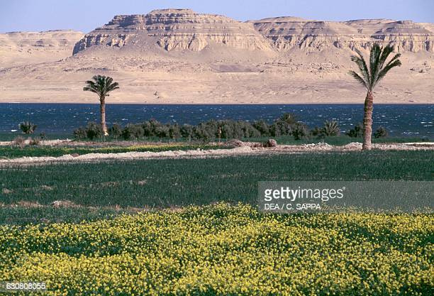 Palm trees in a cultivated field AlFayoum oasis shores of Birket Qarun lake Egypt