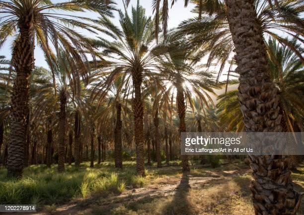 Palm trees in an oasis, Al Madinah Province, Alula, Saudi Arabia on December 28, 2019 in Alula, Saudi Arabia.