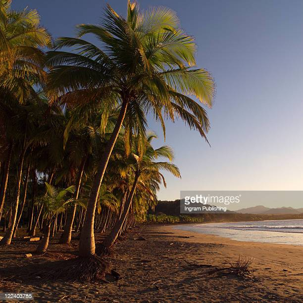palm trees in coast rica - samarra iraq stock pictures, royalty-free photos & images