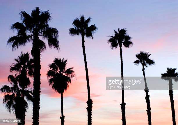 palm trees in foreground of pink and blue sky - lyn holly coorg stock pictures, royalty-free photos & images