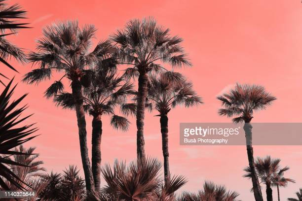 palm trees in montecarlo (image manipulated with pantone living coral color of the year 2019) - miami beach stock pictures, royalty-free photos & images