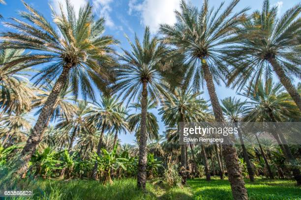 palm trees in oasis - date palm tree stock pictures, royalty-free photos & images