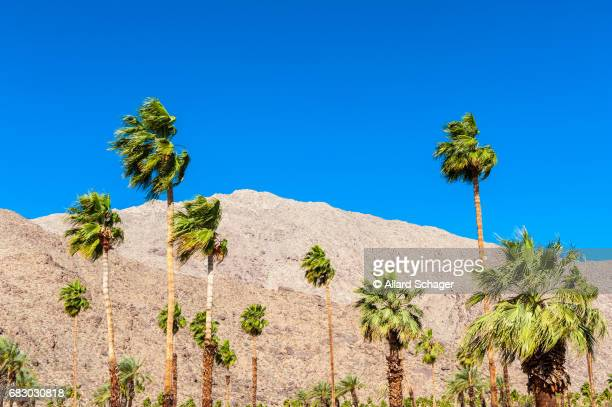 palm trees in palm springs ca - palm springs stock-fotos und bilder