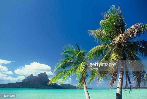 Palmiers dans les îles de la société 2