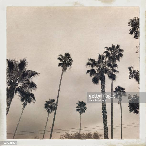 palm trees in the city - pasadena california stock photos and pictures