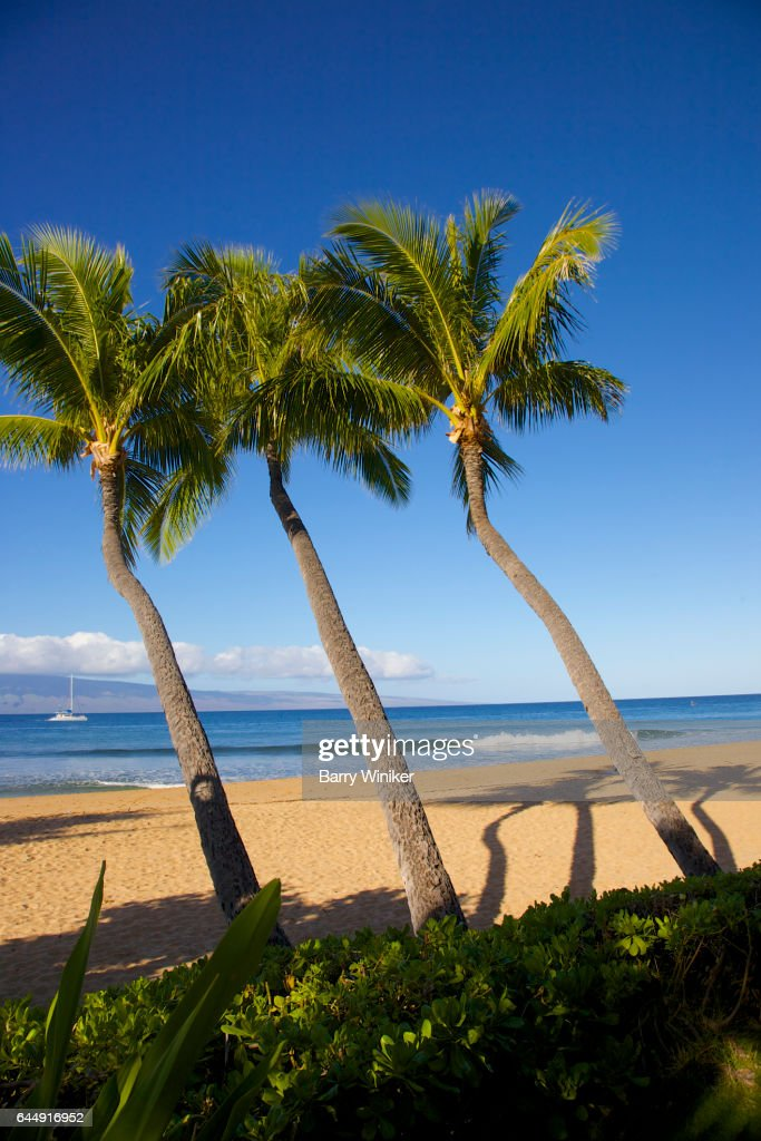 palm trees leaning toward water in maui stock photo getty images