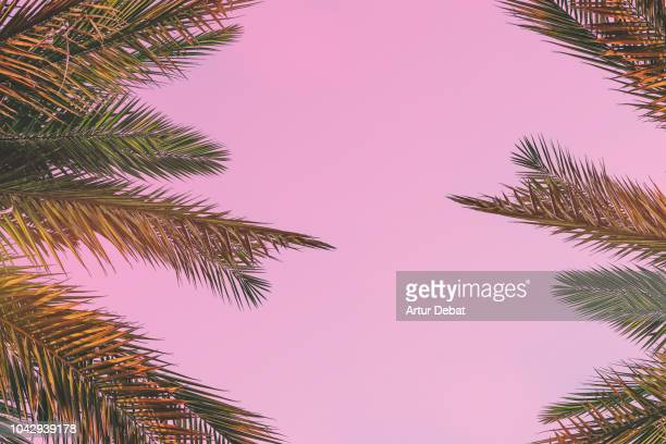 palm trees leaves composition against pink background. - tropical tree stock pictures, royalty-free photos & images