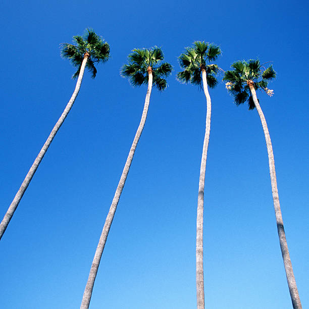 Palm trees lining Hollywood Boulevard, Los Angeles