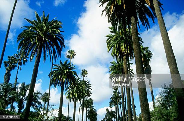 palm trees lining street - beverly hills stock pictures, royalty-free photos & images