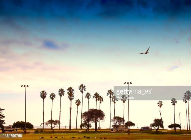 palm trees lining the beach - santa barbara stock photos and pictures