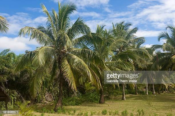 Palm trees, Maroantsetra