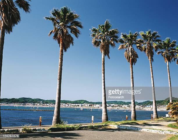 palm trees of zaimokuza beach, shonan, kanagawa prefecture, japan, low angle view, pan focus - zushi kanagawa stock photos and pictures