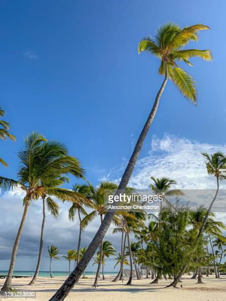 palm trees on a sandy beach in dominican republic - punta cana fotografías e imágenes de stock