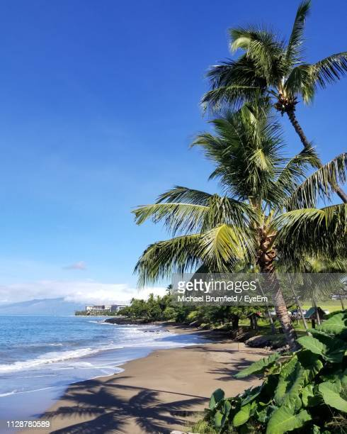 palm trees on beach against blue sky - lahaina stock pictures, royalty-free photos & images