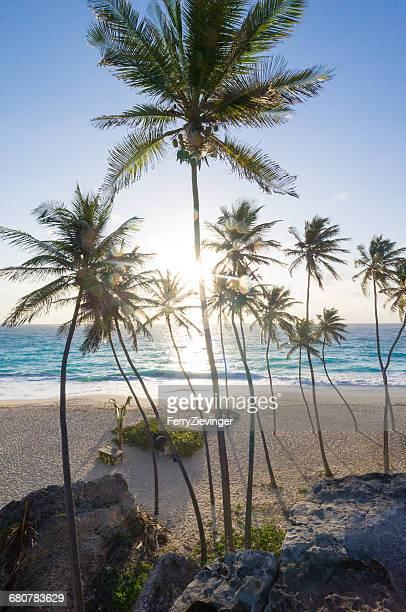 Palm trees on Bottom Beach, Barbados, Caribbean