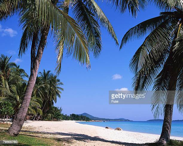 Palm Trees on Chaweng Beach