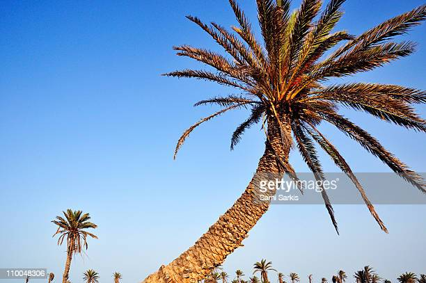 palm trees on clear sky jerba island, tunisia - djerba photos et images de collection