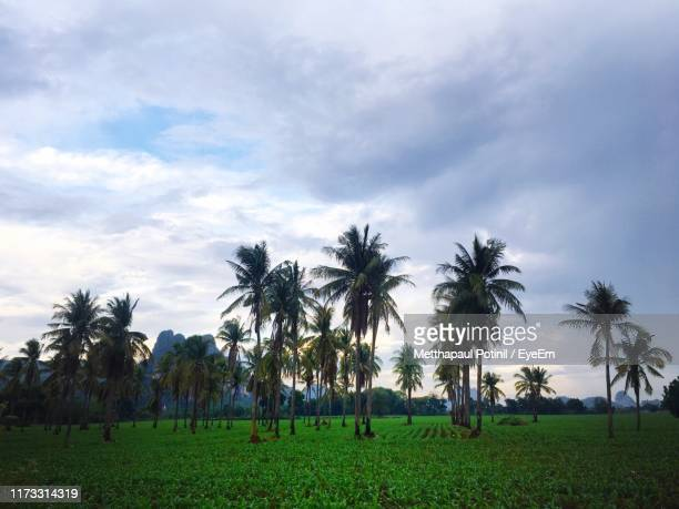 palm trees on field against sky - metthapaul stock photos and pictures