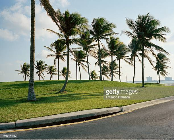 palm trees on grass by roadside - curb stock pictures, royalty-free photos & images