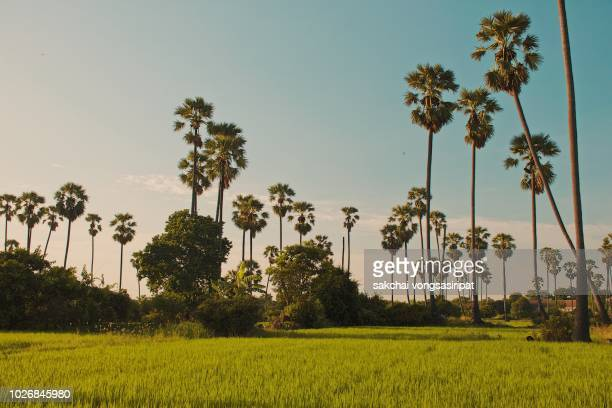 Palm Trees on Rice Fields Against Sky During Sunset, Thailand