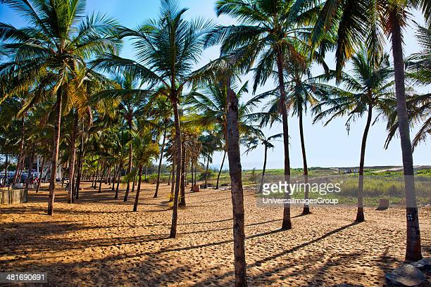 Palm trees on the beach Miramar Beach Panaji North Goa Goa India