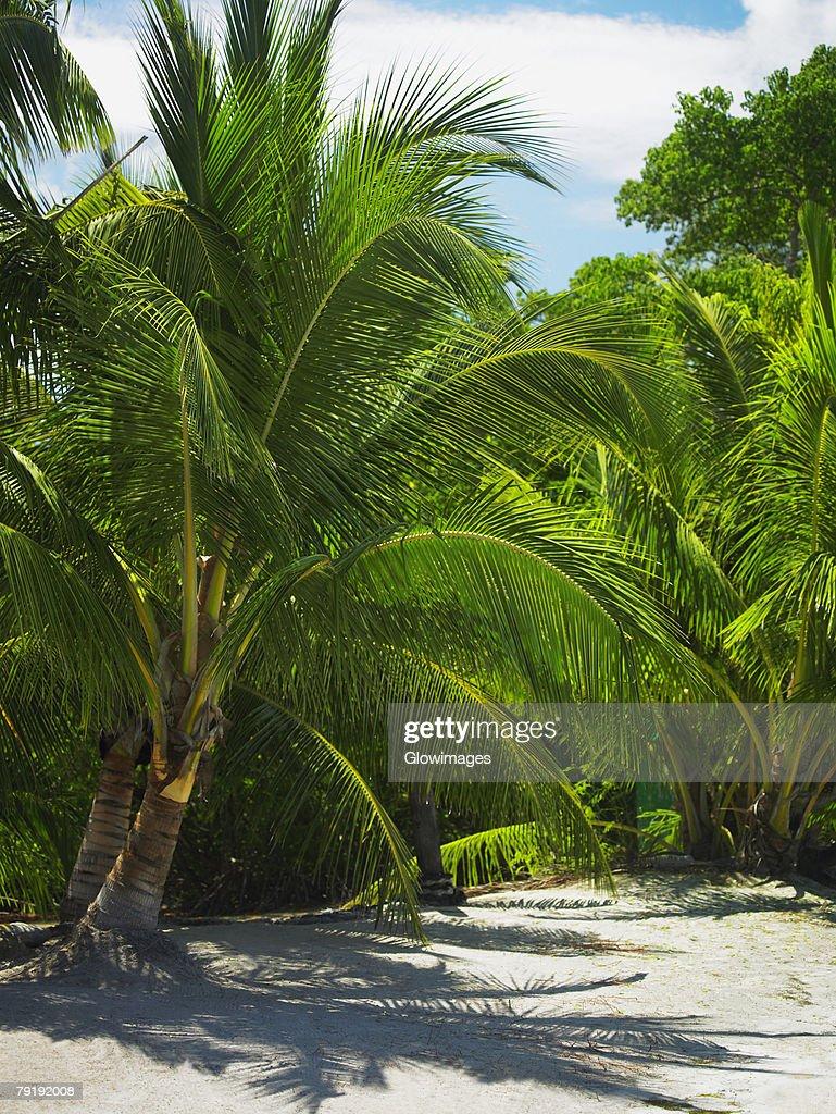 Palm trees on the beach, South West Bay, Providencia, Providencia y Santa Catalina, San Andres y Providencia Department, Colombia : Foto de stock